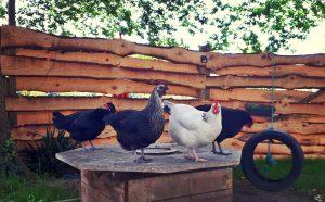 poule oeufs frais
